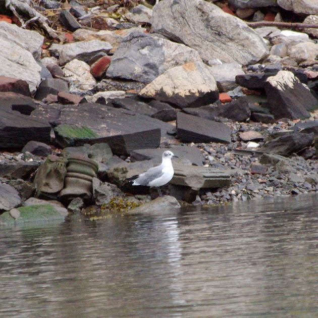 Ed Gaillard: birds &emdash; Laughing Gull, Randall's Island