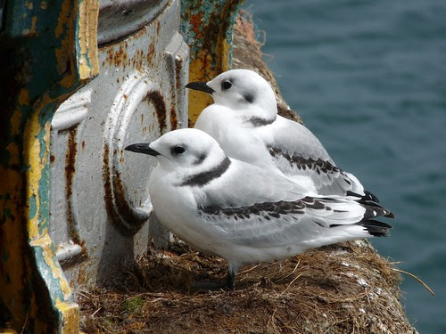 11269 - Kittiwake on Mumbles Pier