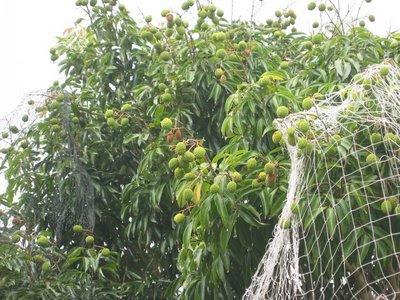 lychee Tree Full View