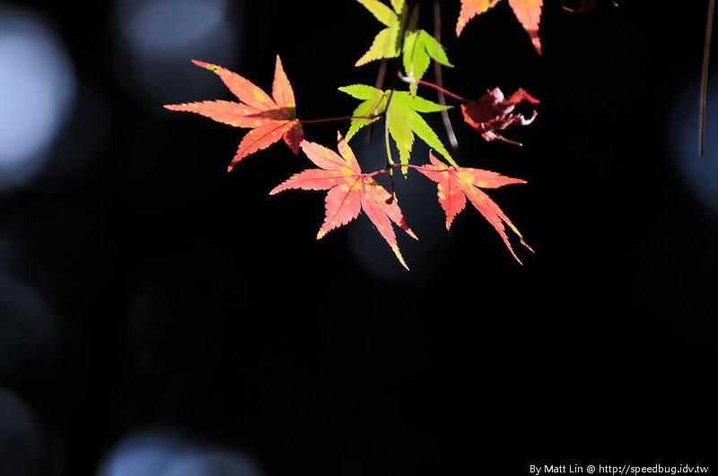 福壽山農場楓紅-11