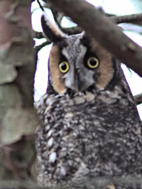 Long-eared Owl COREL 1-20121103