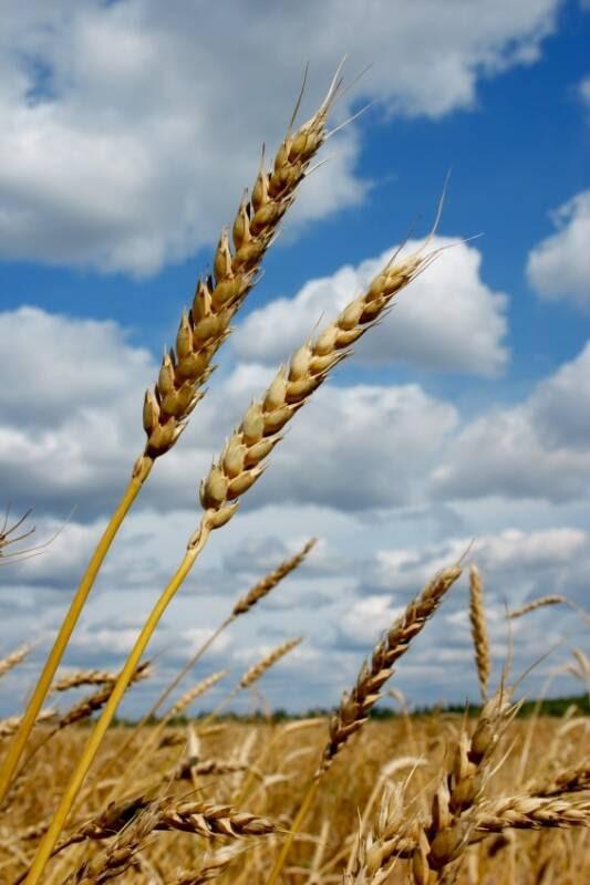http://www.nouriche.com/wheatIS279805_op_533x800.jpg