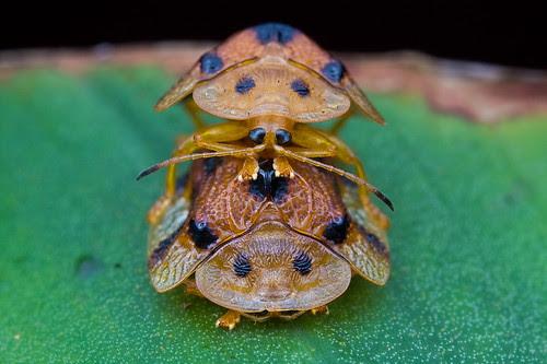 Tortoise beetles mating, laccoptera.......MG_4600 copy