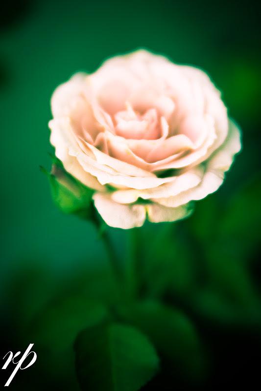 ~ 174/365 Rose ~