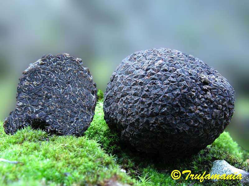 Tuber melanosporum, diamond of gastronomy