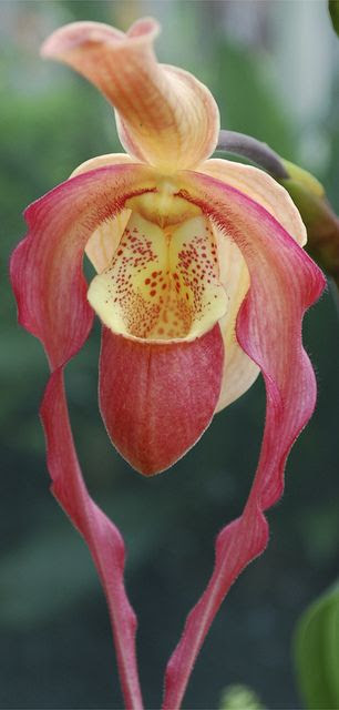 nature | flowers | paphiopedilum