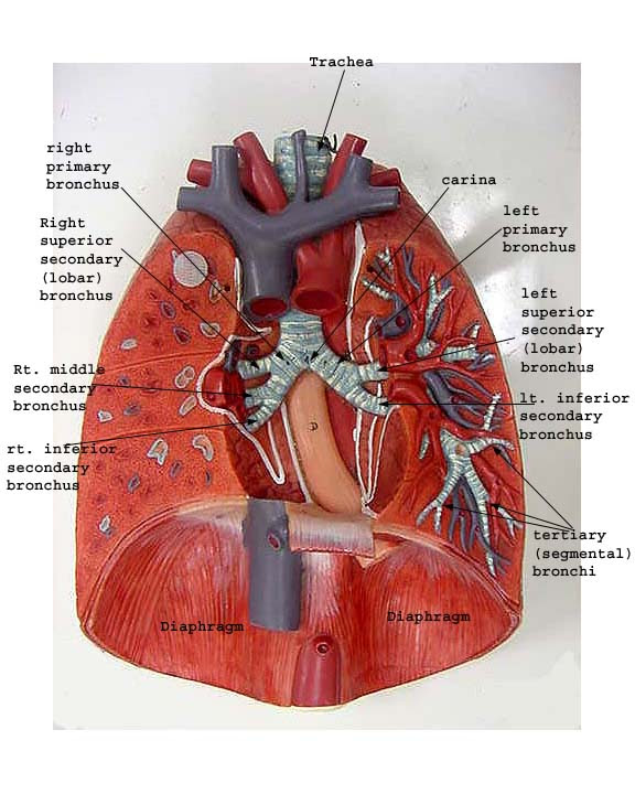 Twin Tattoo  Diagram Of Circulatory System For Kids