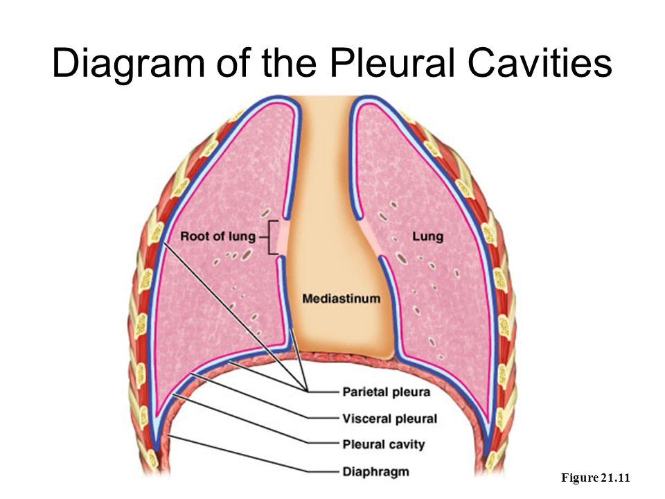 Diagram+of+the+Pleural+Cavities