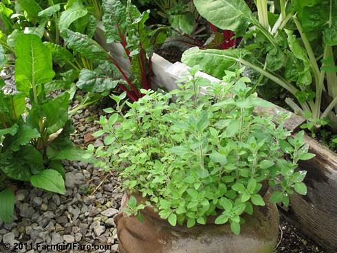 Greek Oregano in the Greenhouse - In My Kitchen Garden