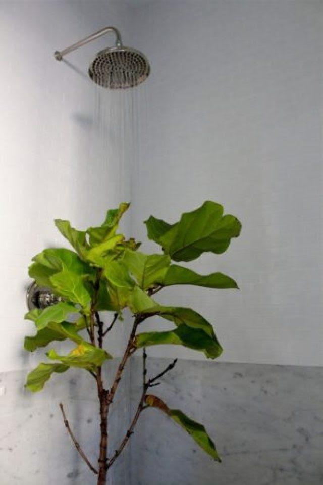 Уход за комнатным растением, теряющим листья. © Michelle Slatalla