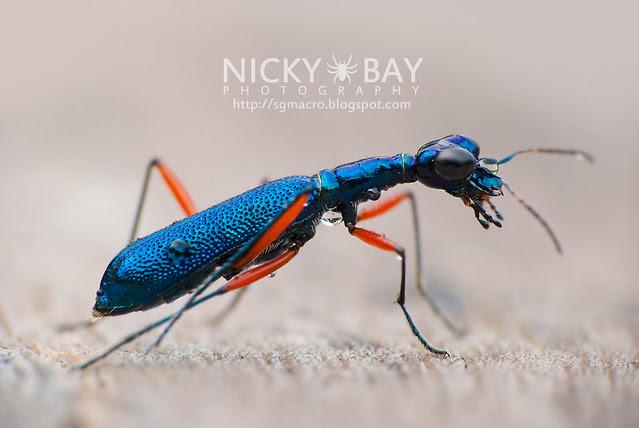 Tiger Beetle (Cicindelinae) - DSC_2405
