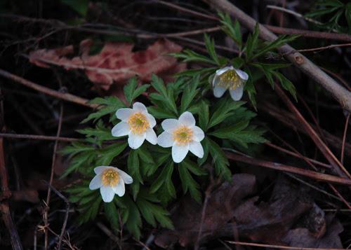 spring :: hvitveis #2
