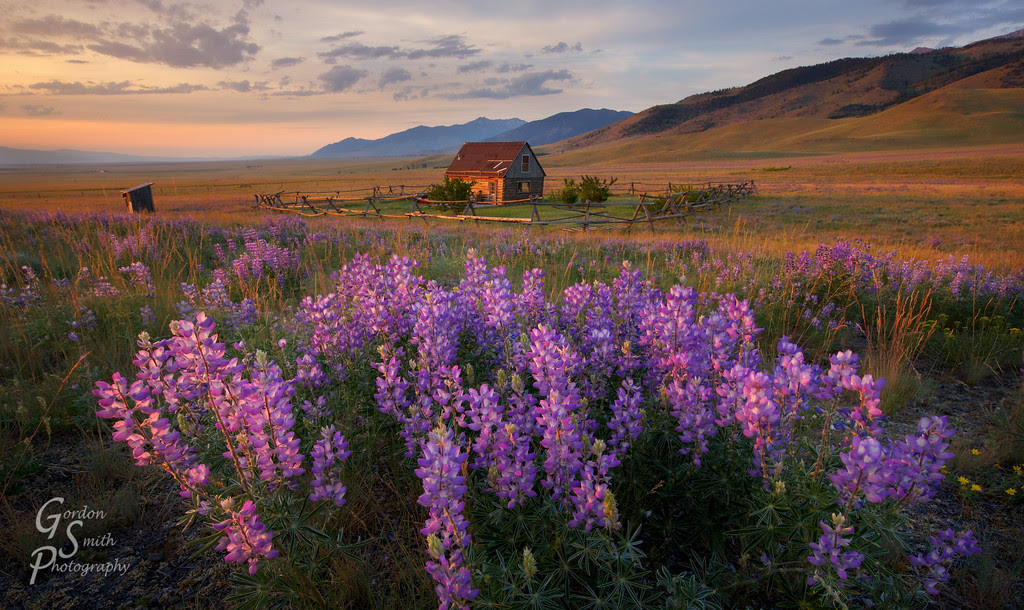 montana wildflowers and small cabin