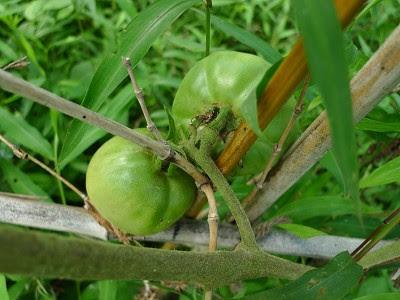 草ムラの中のトマト