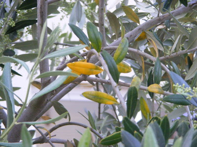 Hi Any Clues On Yellowing Leaves On Our Olive Tree Grows On You