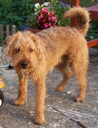 Lakeland Terrier independent Dogs