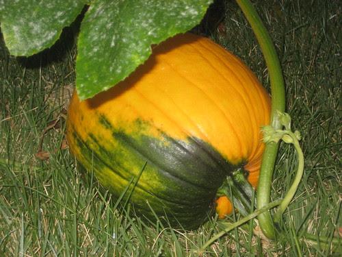 Pumpkin - still growin'