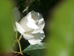 rose, 16 juin 2005