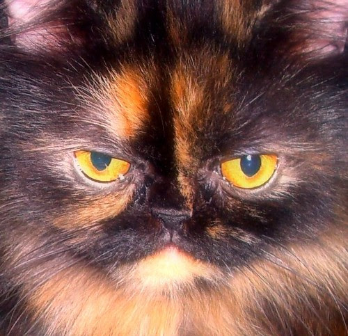 My Baby, Persian Cat Photo * Tortie * www.PersianCatCare.com by PersianCat*Contest.