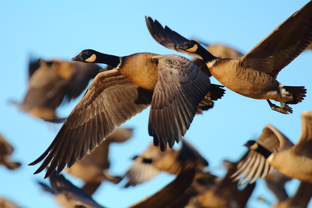 IMG_1120 Aleutian Cackling Geese