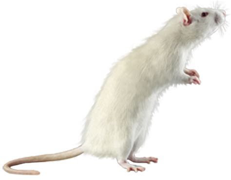 mouse, rat PNG image