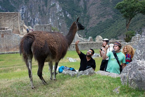 Llama stalking