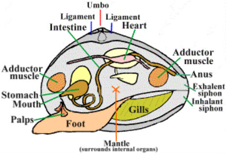 Respiratory System - Hard Clam Resources
