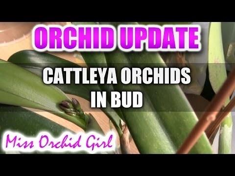 CATTLEYA ORCHIDS FINALLY IN BUD!