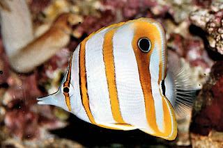 Rafa Koralowa w Australii
