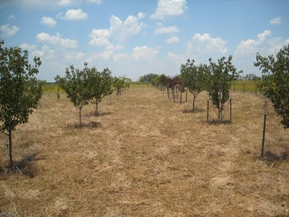 Our Orchard Between the Rows
