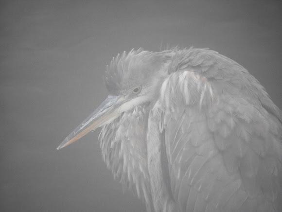 Ed Gaillard: birds &emdash; Great Blue Heron, Central Park