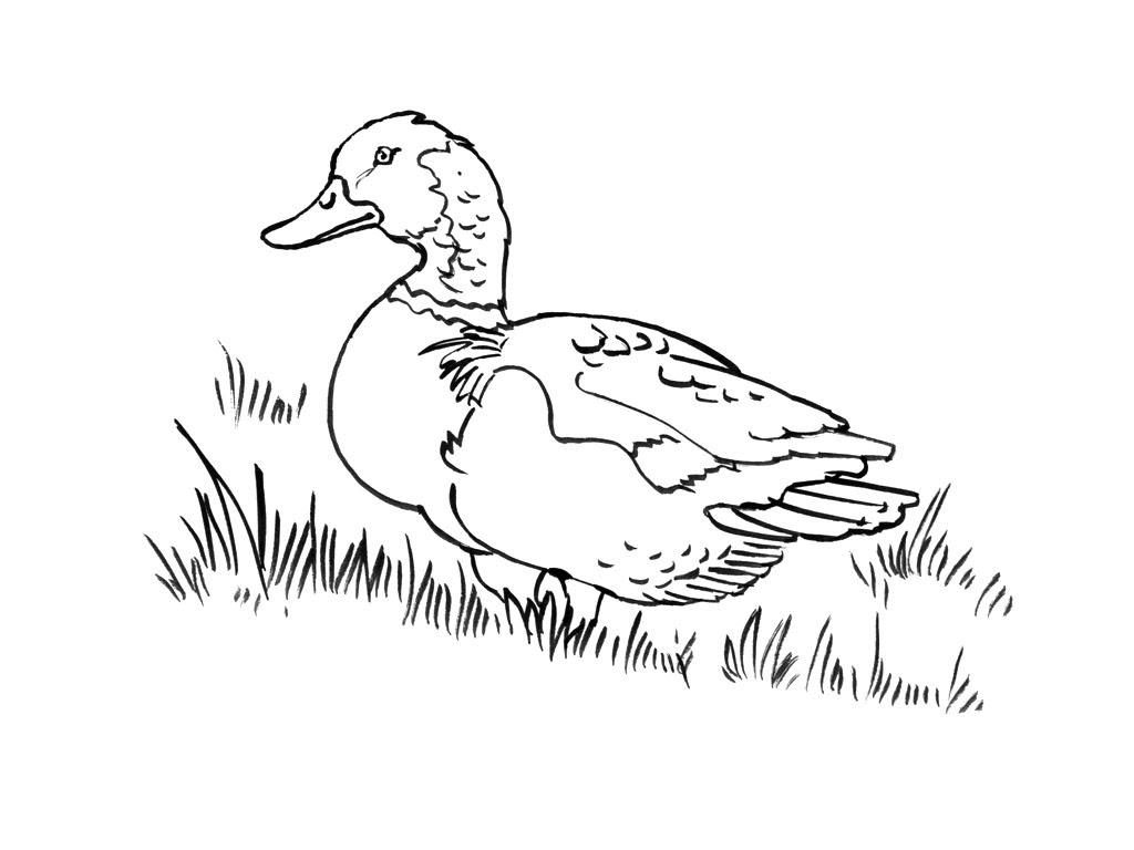 dessins de canards Coloriage de canard amusant gratuit des contes d andersen coloriage gratuit le vilain petit canard