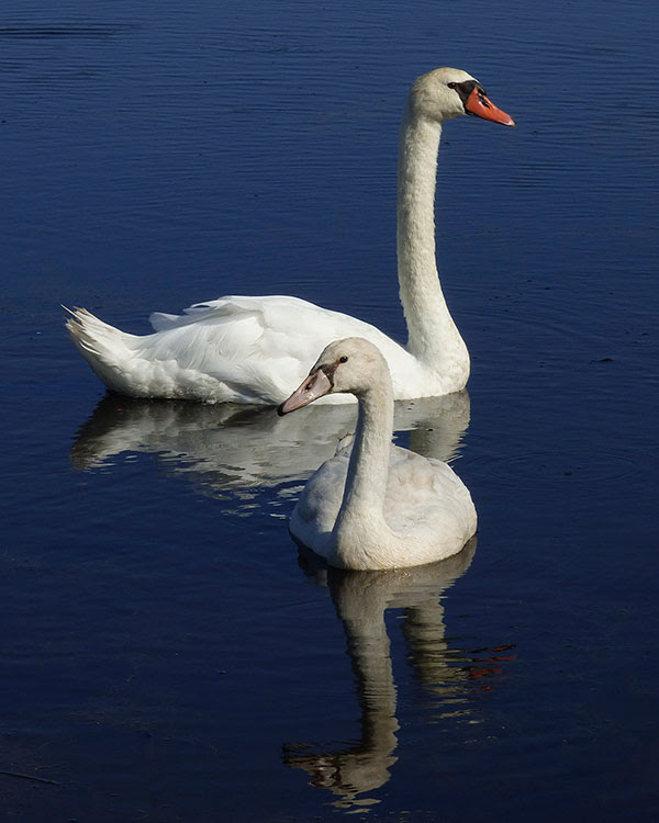 Mute swans at Cape May Point State Park in New                     Jersey