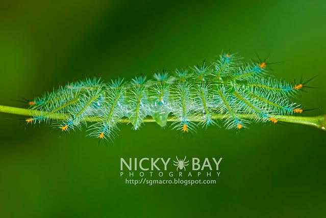 Archduke larva (Lexias pardalis dirteana) - DSC_3934
