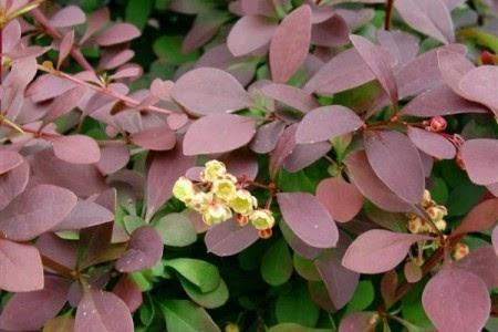 Jardineria y plantas arbusto berberis for Jardineria y plantas