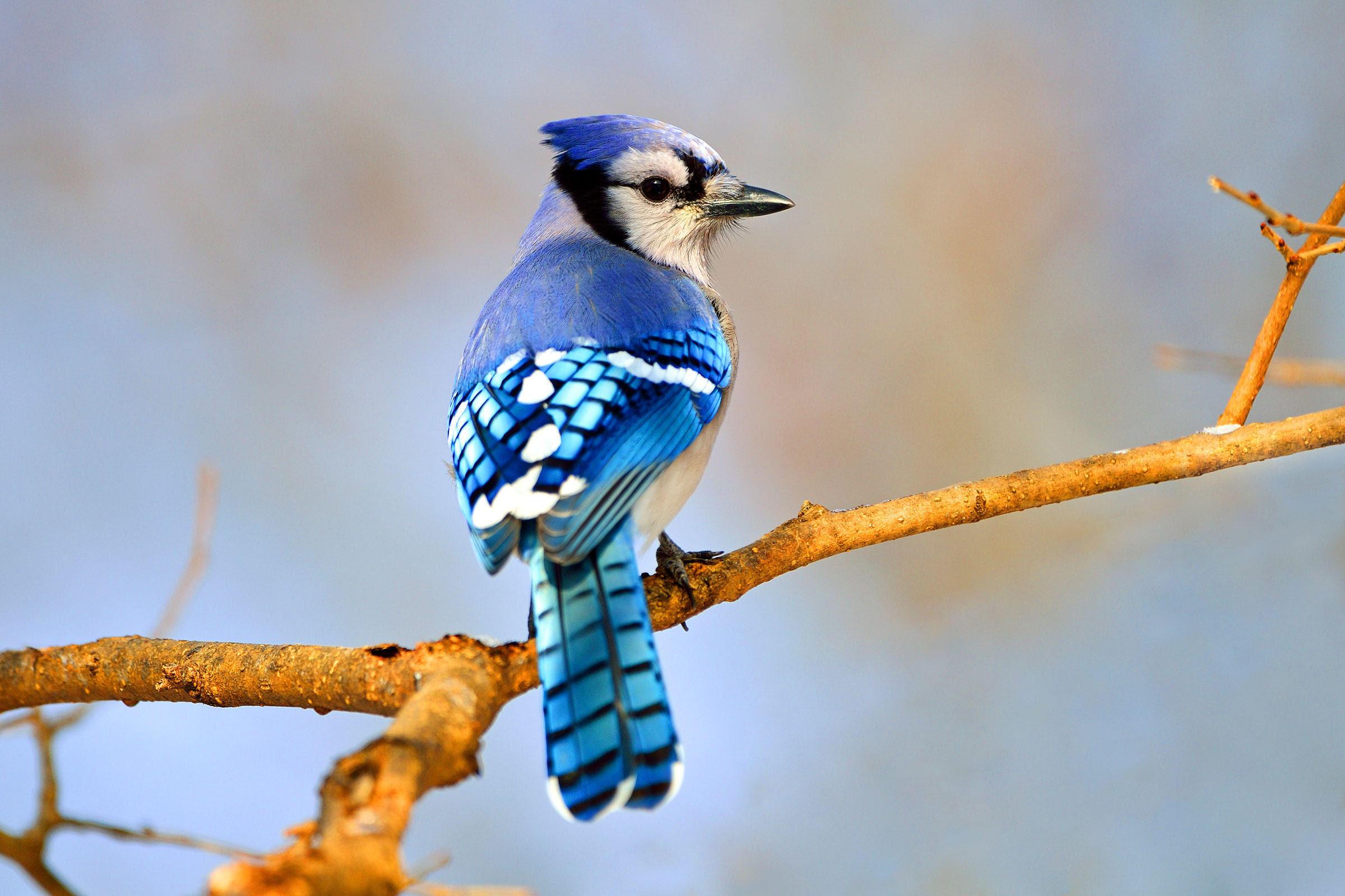 Blue Jays Masters Of Imitation Wcai