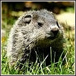 woodchuck, also known as a groundhog
