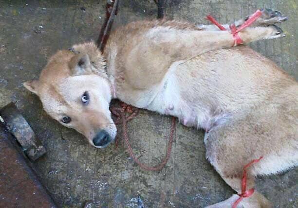 在玉林待宰的狗隻被殘忍地綁實,不少出現斷骨等情況。(網上圖片)