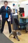 Un travieso koala invade una farmacia y se rehúsa a marcharse…