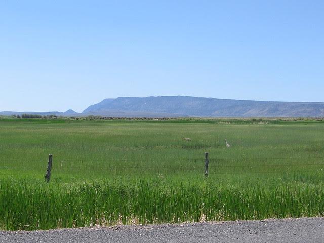 Sandhill Cranes, Warner Wetlands