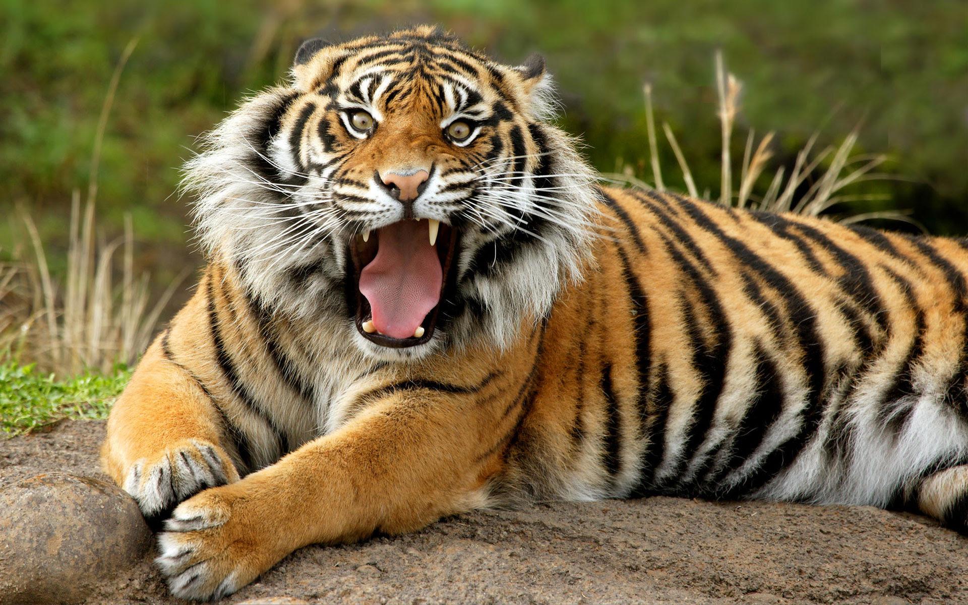 Sumatran Dangerous Tiger Wallpapers  HD Wallpapers  ID #5037