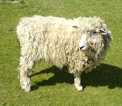 DSC00228 Sheep