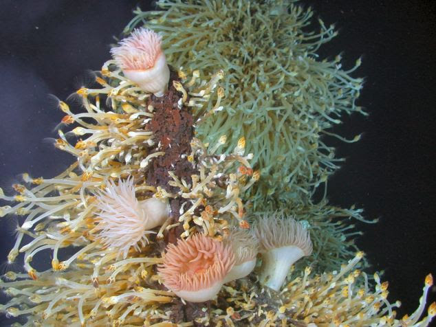 On the shelf: Sea anemones and barnacles flourish in complete darkness, drawing energy from breaking down highly toxic chemicals found in the smoke