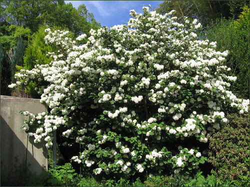 10 White Snowball Tree