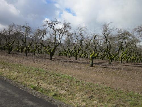 Mossy plum orchard