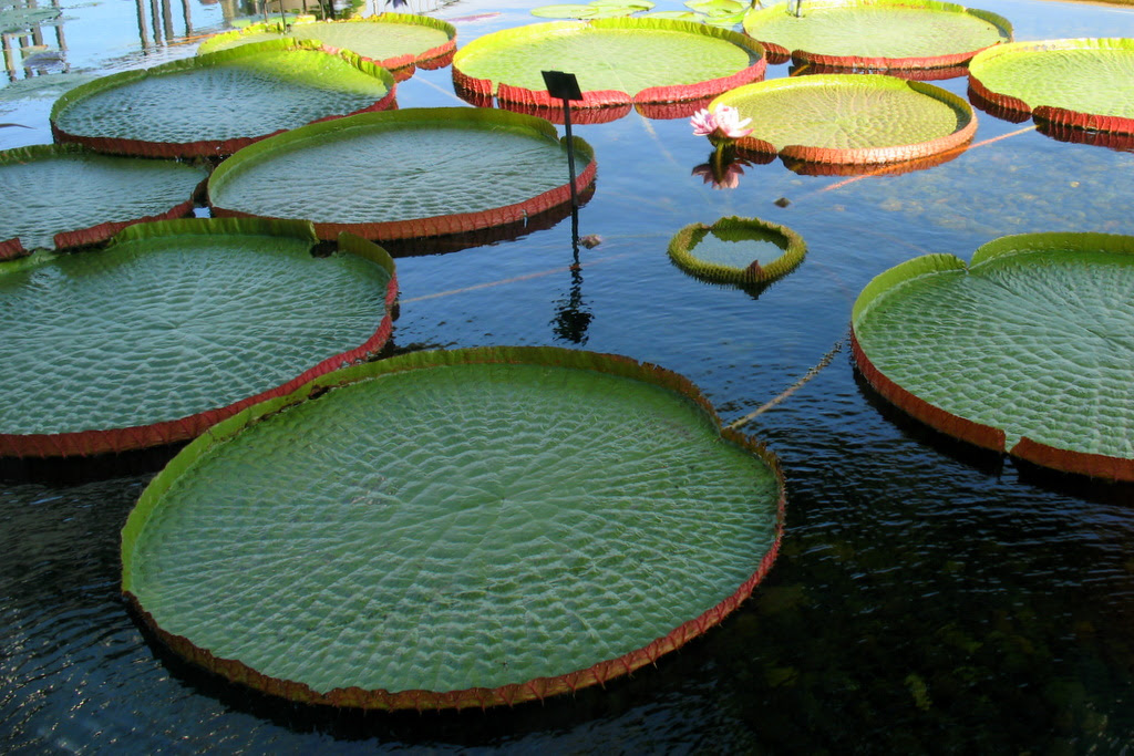 These monster lily pads measure roughly 6 feet across