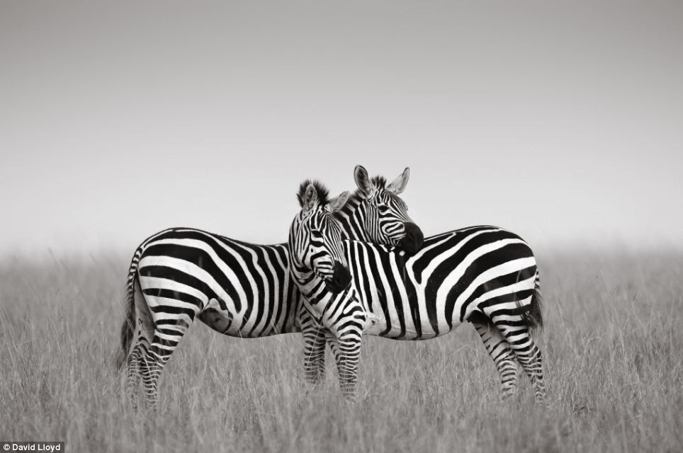 Lloyd, who describes himself as a fine art photographer, produces, as we have seen, incredible colour photography, but says he prefers black and white, shown here to stunning effect with this snap of two zebras
