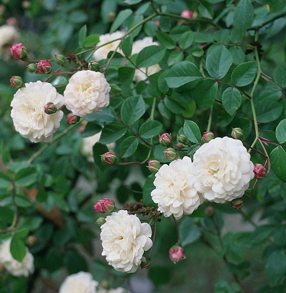 File:Rosa 'Felicite et Perpetue'.jpg