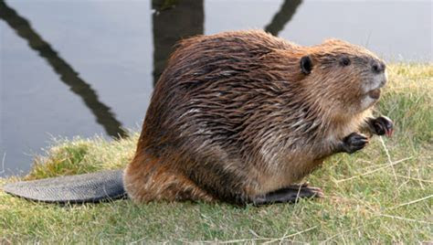 Amazing facts about beavers   OneKind