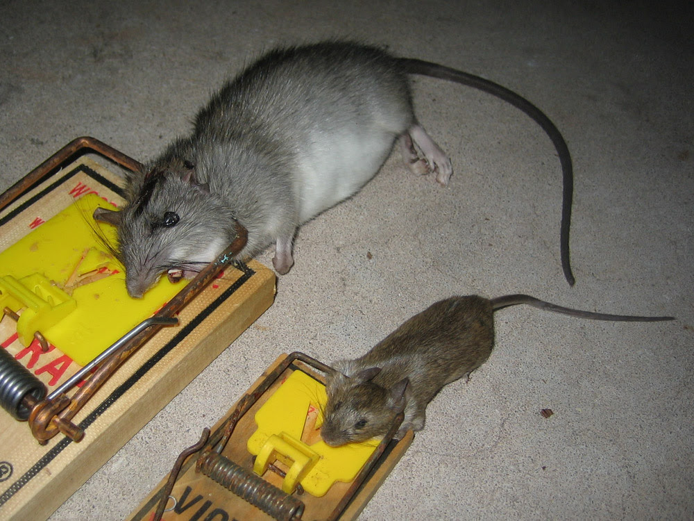 Rat Photograph Gallery - Pictures & Images